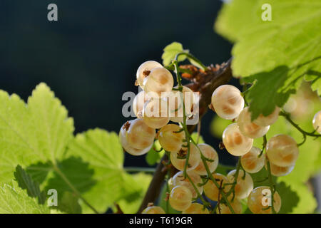 Close-up view to white transparent ripe currant fruits with bi9g seeds inside them growing on the branch brightly illuminated under the sun.