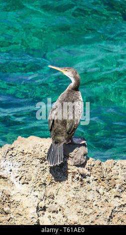 Mediterranean Shag - Phalacrocorax Aristotelis - Sitting On A Rock During a Sunny Spring Day - Stock Photo