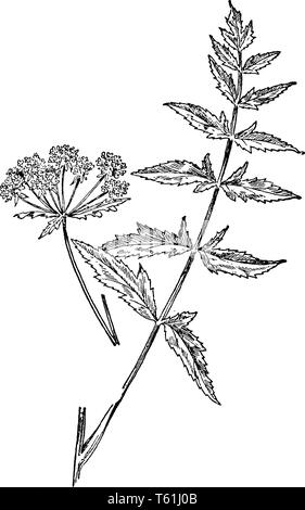A picture is showing a cut leaf water parsnip. This is from Apiaceae family. The stem is thin and long. Leaves are triangular shaped, vintage line dra - Stock Photo