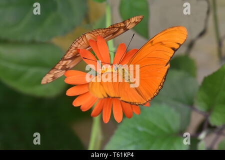Orange colored Julia heliconian butterfly Dryas iulia feeding on a flower - Stock Photo