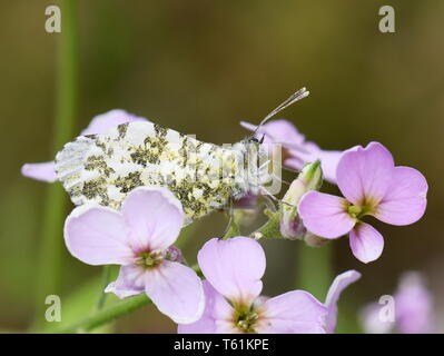 The orange tip butterfly Anthocaris cardamines female on cuckooflower - Stock Photo