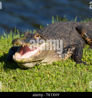 American alligator (Alligator mississippiensis) in Charleston in South Carolina, USA. The creature basks in sunshine by water. - Stock Photo