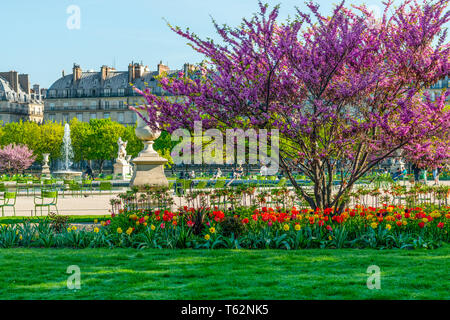 View of the Tuileries Park and the Louvre with flowers, statues, fountain, and cherry blossoms during April - springtime in Paris, France. - Stock Photo