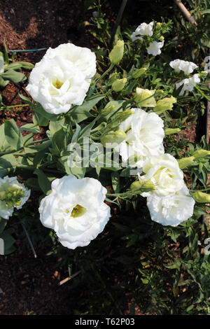 Close up of white Lisianthus flowers and buds - Stock Photo