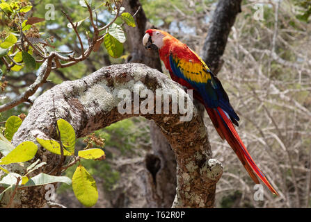 Scarlet Macaw ( Ara macao ), large colourful parrot, perched in a tree, wild in Honduras, Central America - Stock Photo