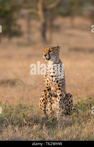 A female cheetah sitting in open grassland, alert and looking, portrait format, Ol Pejeta Conservancy, Laikipia, Kenya, Africa - Stock Photo
