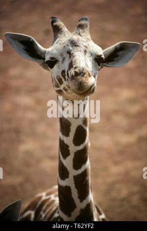 AFRICAN RETICULATED GIRAFFE Giraffa camelopardis reticulata   - kz3692 RAB001 HARS OSSICONES - Stock Photo