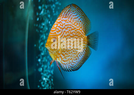Tropical Pigeon Discus Fish in aquarium - Stock Photo