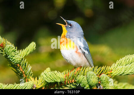 northern parula, Setophaga americana, male singing in spring time, Nova Scotia, Canada - Stock Photo