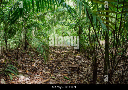 Palm grove in the Panamanian rainforest of the Camino de Cruces National Park - Stock Photo