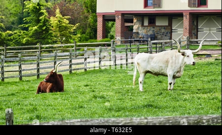Long Horn Steers Grazing in field - Stock Photo
