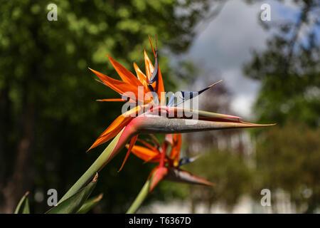 Colorful flower Bird of paradise - Strelitzia Reginae blossom in botanic garden - Stock Photo