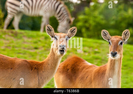 Portrait of a beautiful southern lechwe in a zoo on a sunny day. - Stock Photo