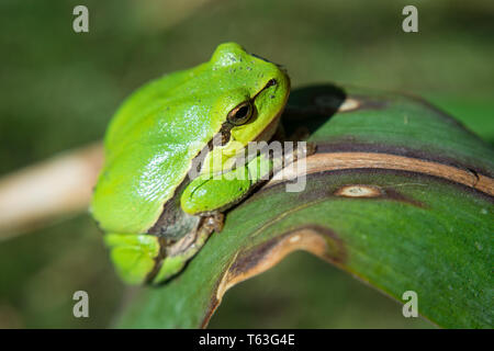 Pretty european tree frog is sitting on a leaf - closeup - Stock Photo