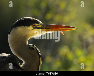 grey heron, Ardea cinerea - Stock Photo