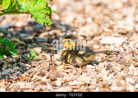 Tiny Mallard ducklings (Anas platyrhynchos) resting on the bank of the lake - closeup with selective focus - Stock Photo