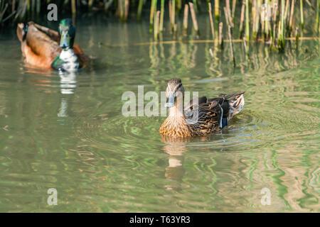 Mallard female duck (Anas platyrhynchos) swimming on the lake - Stock Photo