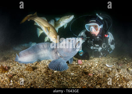 scuba diver with wolf eel, Anarhichas lupus, and Atlantic cod, Gadus morhua,  Little Strýtan dive site. Eyjafjordur nearby to Akureyri, northern Icela - Stock Photo