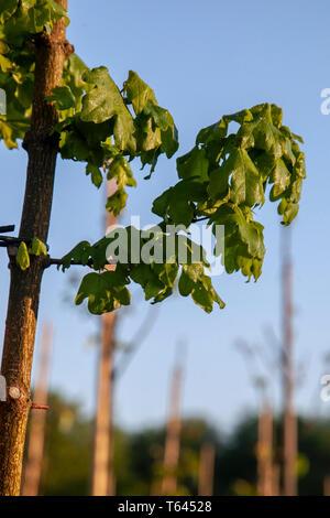 Field Maple Acer Campestre Habit Growing Fen Habitat Little Ouse