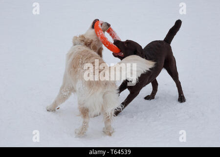Golden retriever and chocolate labrador are playing on a white snow. Pet animals. Purebred dog. - Stock Photo