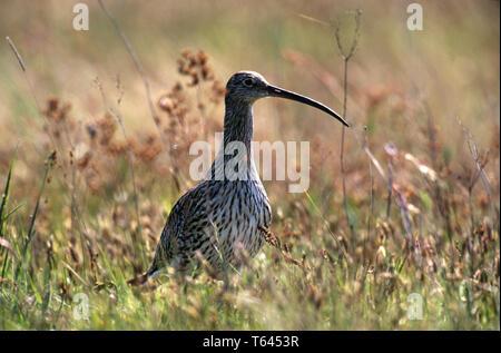 Brachvogel, Fraenkischer Weiher, charadriiformes, numenius arquata, wader - Stock Photo