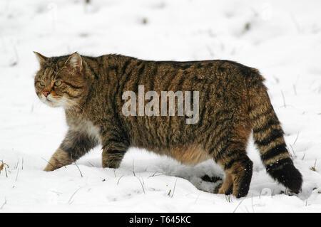 European Wild Cat, Felis silvestris, South Germany - Stock Photo