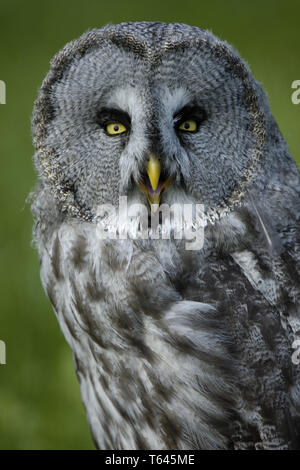 Bartkauz, Great Grey Owl, Lapland Owl, Strix nebulosa - Stock Photo