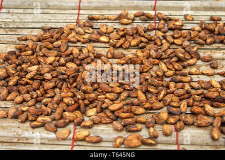cacao plantation with cocoa fruits, West Africa, Ghana - Stock Photo