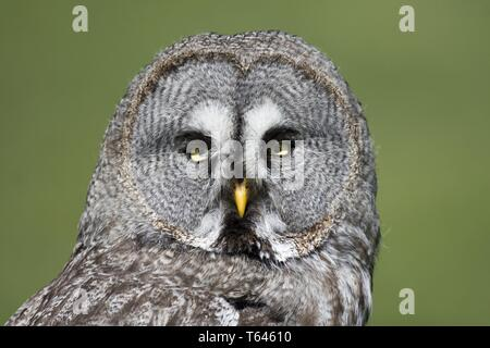 Bartkauz, strix nebulosa, European Grey Owl - Stock Photo