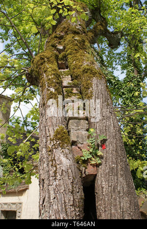 linden tree, genus tilia - Stock Photo