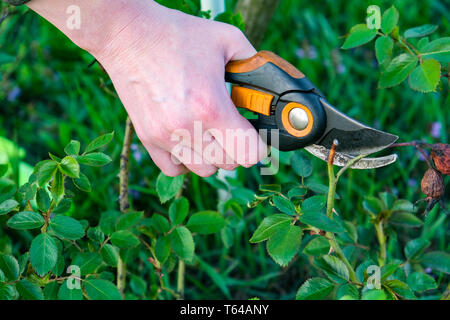 Flower gardening and maintenance concept. Close up shot of women hands with pruning shears working in garden. Gardener trimming off spray of spent or - Stock Photo