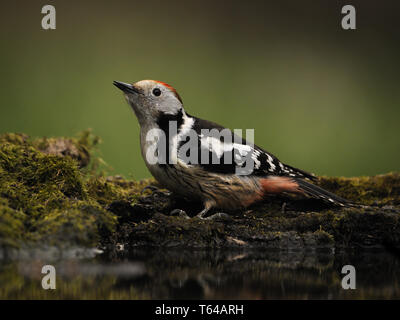 medium spotted woodpecker, Leiopicus medius, Dendrocopos medius, Picoides medius - Stock Photo