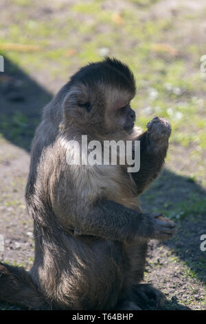 portrait of capuchin monkey eating in the sun, germany - Stock Photo