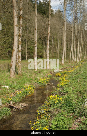 Kingcup or marsh marigold, Caltha palustris - Stock Photo