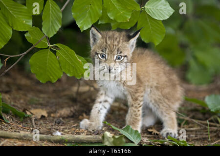 Felis Lynx, European Lynx, Bavarian National Park, Germany - Stock Photo
