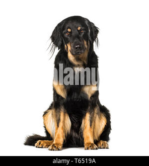 Hovawart, 18 months old, sitting in front of white background - Stock Photo