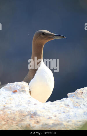 Common Guillemot or Murre, Uria aalge, North Sea, Europe - Stock Photo