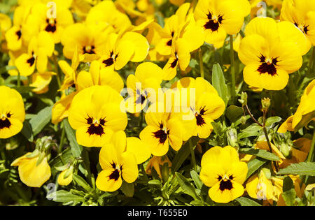 yellow pansy flowers at spring in the garden - Stock Photo