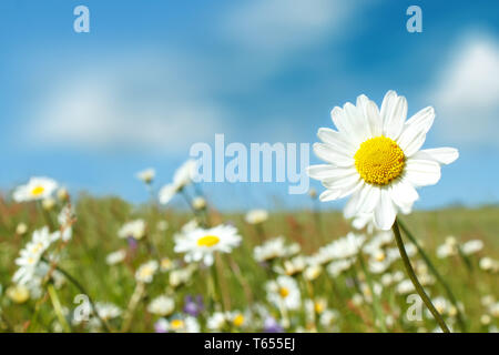 close up of white marguerite flowers in meadow - Stock Photo