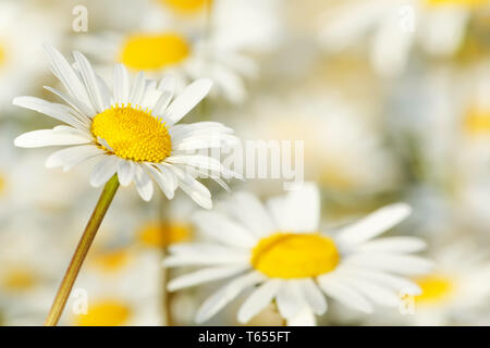 close up of white marguerite flowers with shallow focus - Stock Photo