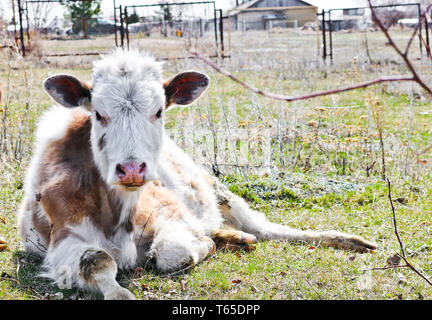 Young purebred white-brown cows lie on a pasture in early spring. Shooting at close range. - Stock Photo