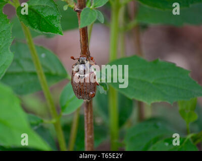 Adult cockchafer beetle on a branch of jasmine - Stock Photo