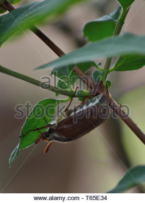 Adult cockchafer beetle hiding on a branch of jasmine - Stock Photo