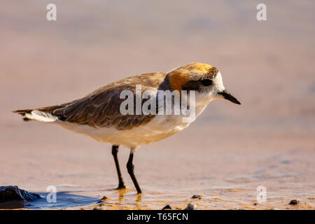 Puna plover (Charadrius alticola) is a species of bird in the family Charadriidae. It is found in Argentina, Bolivia, Chile, and Peru. Its natural hab - Stock Photo