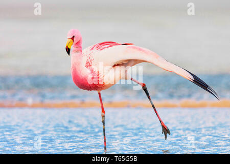 Andean flamingo (Phoenicoparrus andinus) is one of the rarest flamingos in the world. It lives in the Andes mountains of South America. - Stock Photo