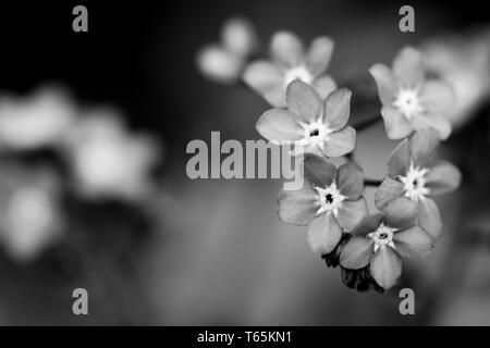 Black-white photo of myosotis flowers. Macro photography. - Stock Photo