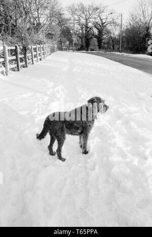Labradoodle dog in the snow, Medstead, Hampshir, England, United Kingdom. - Stock Photo