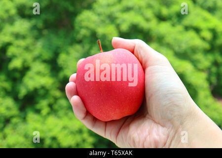 Fresh ripe red apple in hand with blurry green foliage in the backdrop - Stock Photo