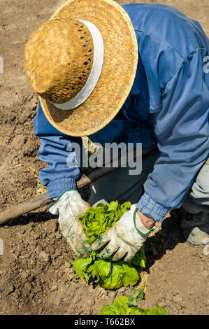 Crouched farmer collecting a mature lettuce of a organic orchard on sunny day . Man with straw hat and gloves working in ecological field. - Stock Photo