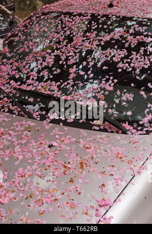 cherry tree petals fallen on a parked car - Stock Photo